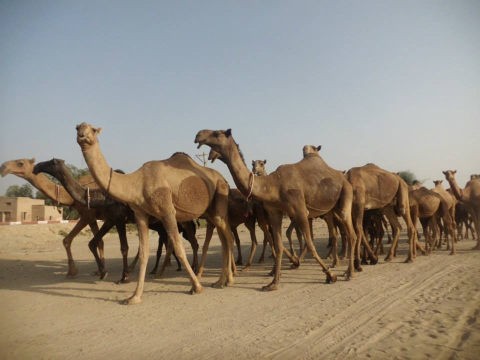A Group of Brela Camels