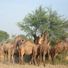 The Camels love Tree Vegetation
