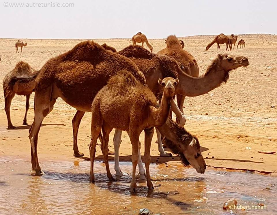 Camels in the beautiful desert
